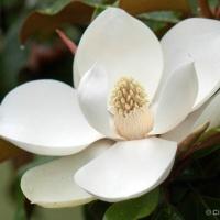 Magnolia Of K46